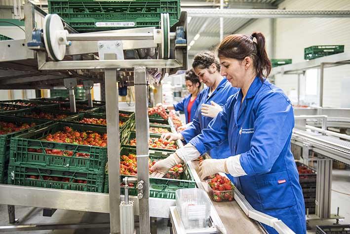 Erdbeeren, Arbeiterin am Band