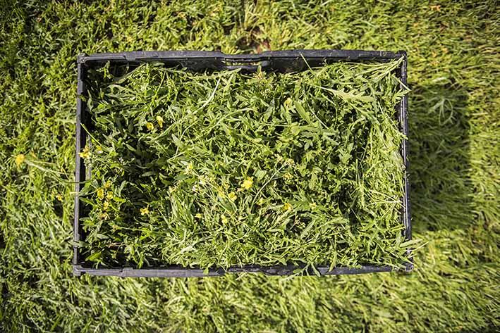 Rucola Kiste auf Feld