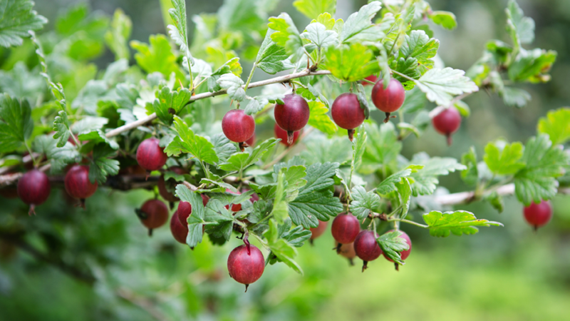 je reifer die frucht desto süßer der saft