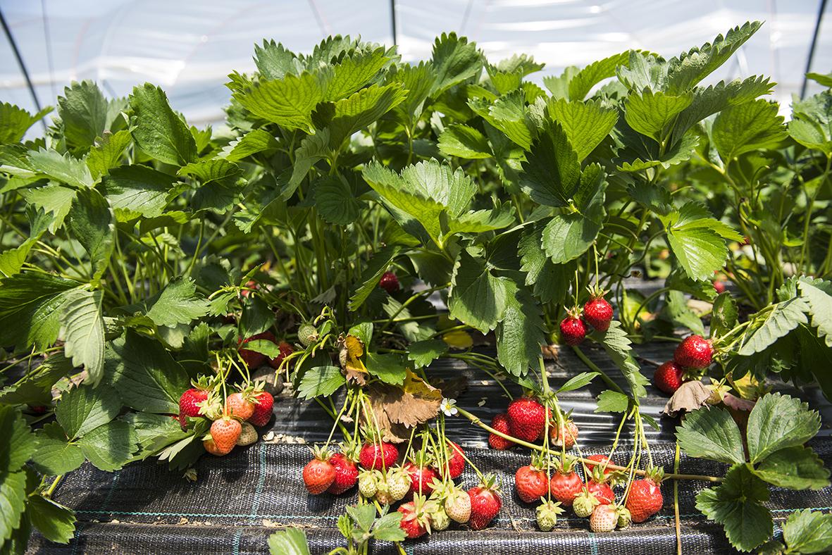 Erdbeeren, Pflanze