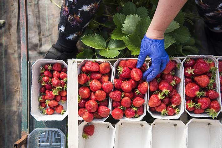 Erdbeeren Handschalen, verpacken
