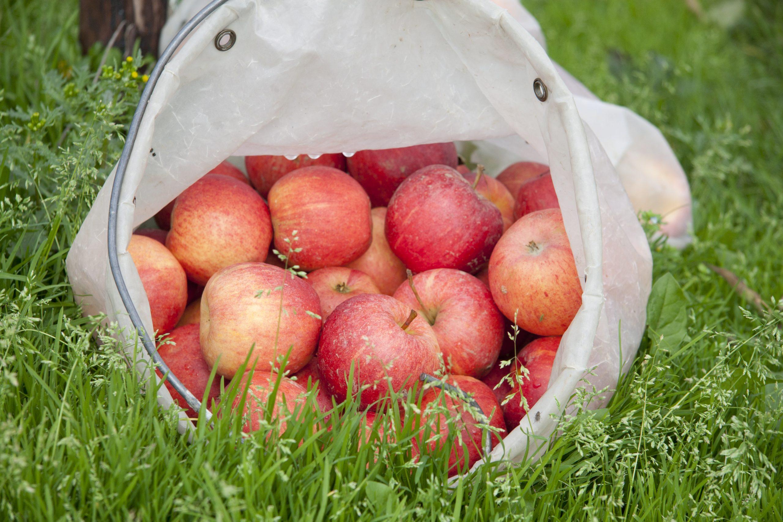 Äpfel in Pflücktüte