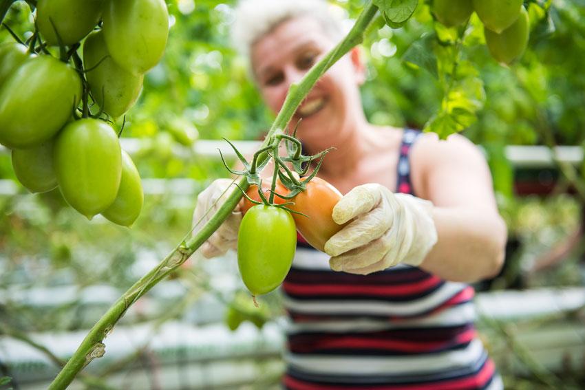 Tomaten ernte