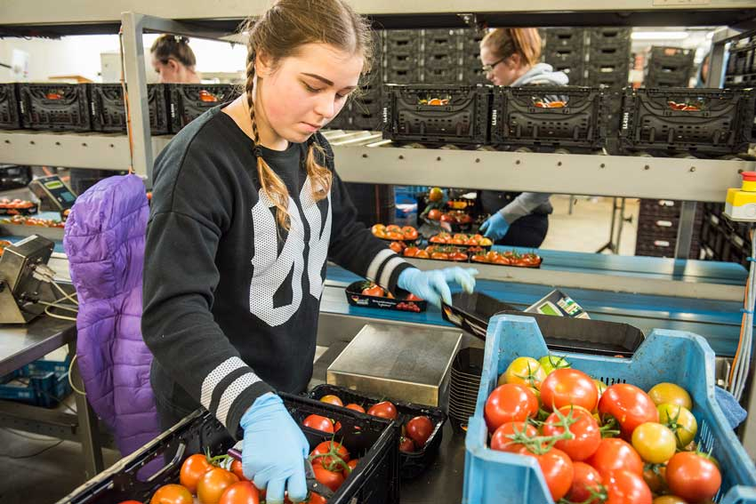 Tomaten Ernte Sortierung