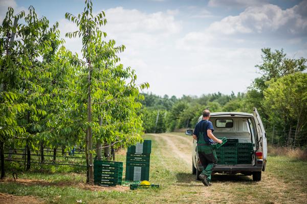 Abtransport der Kirschen