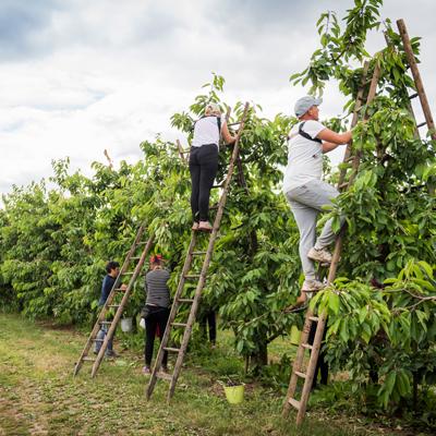 Menschen auf leitern an Kirschbäumen
